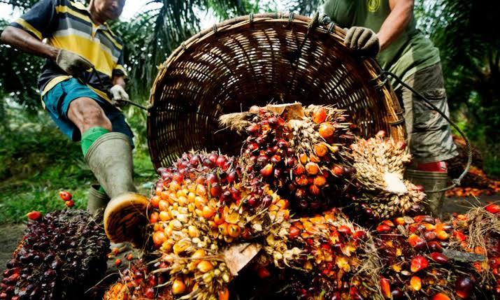 Palm oil farmers