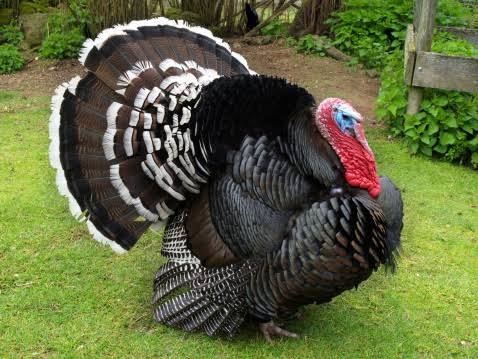 Breeds of turkey