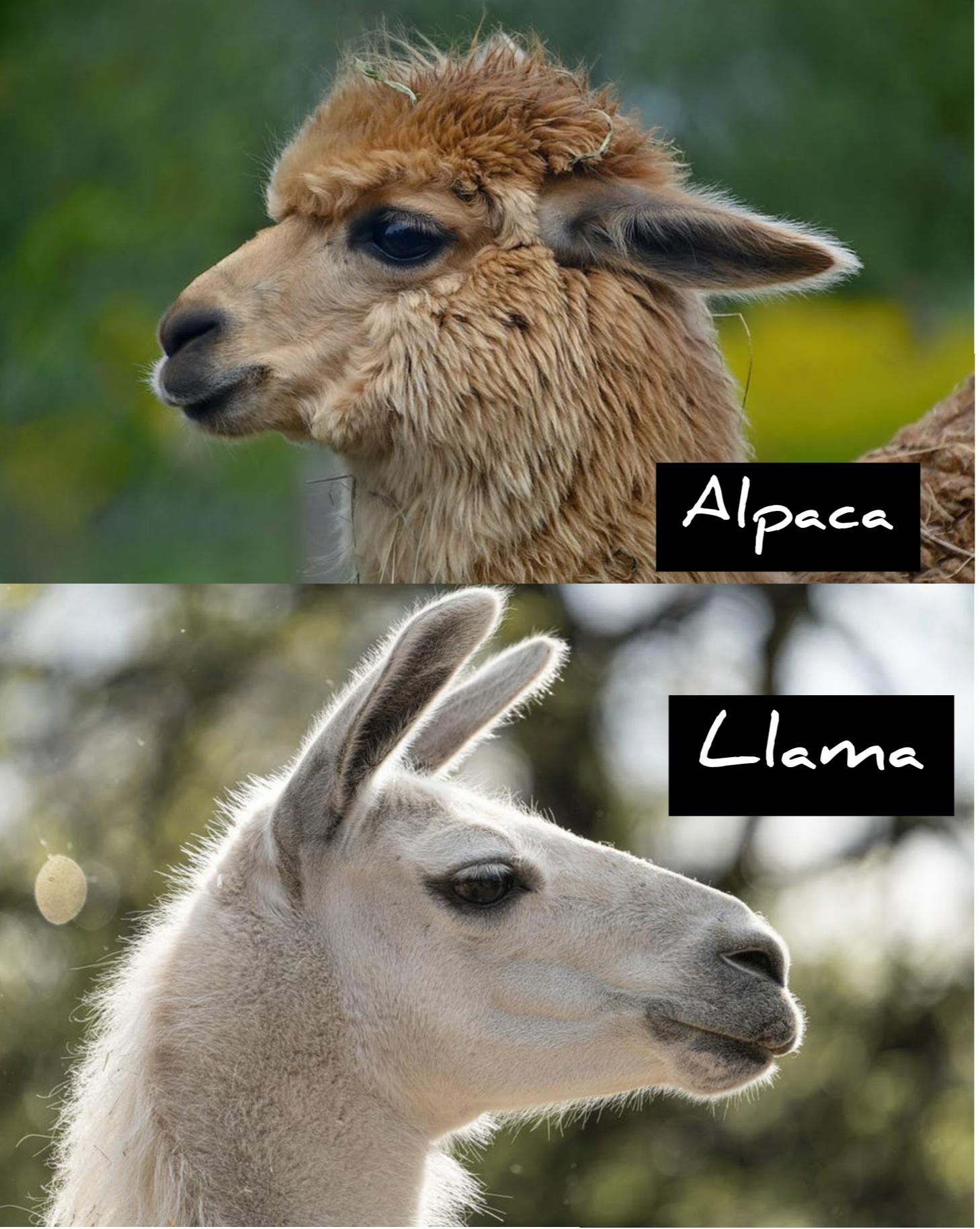 Face of alpaca and llama