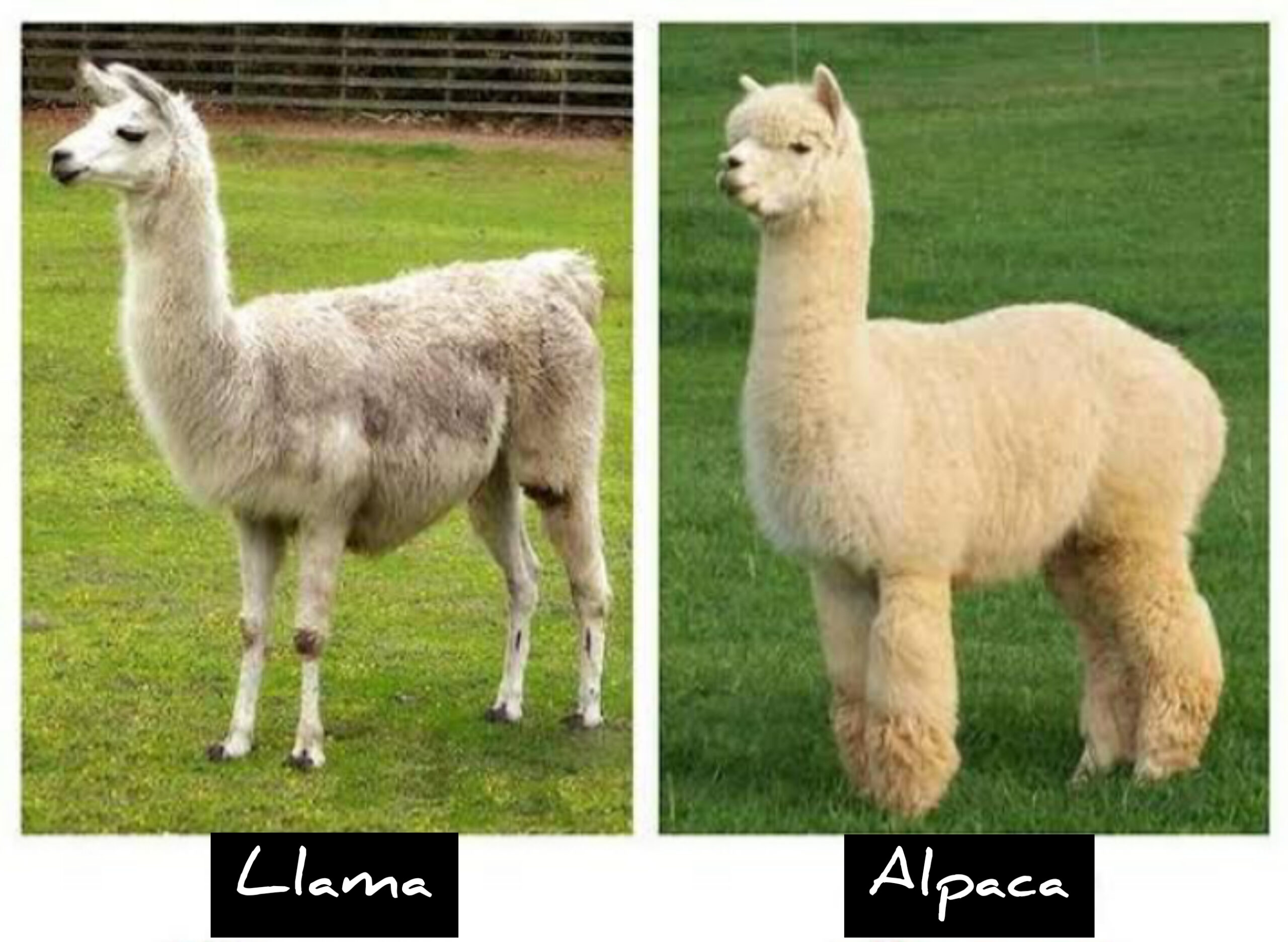 Body difference between alpaca and llama