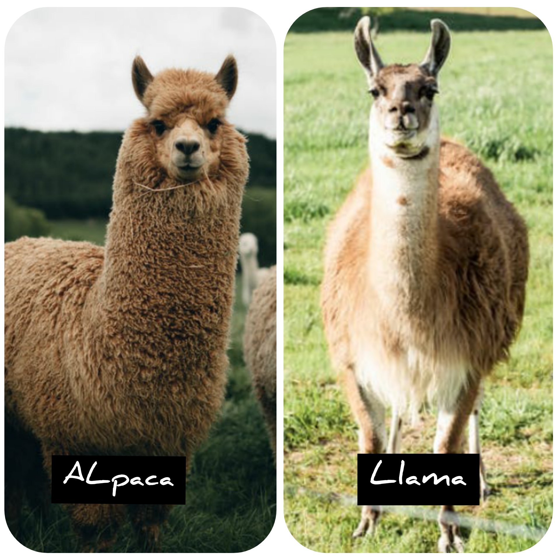 Difference between alpaca and llama